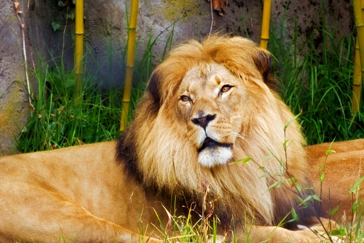 african-lion_fyyNtvYu.jpg